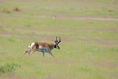 Pronghorn Buck Running. A pronghorn antelope buck running across the prairie during the rut Royalty Free Stock Image