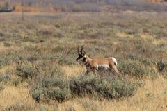 Pronghorn Buck Running auf dem Grasland Stockbilder