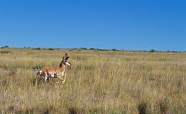 Pronghorn Buck Running door Grasrijk Gebied in de Woestijn royalty-vrije stock foto's