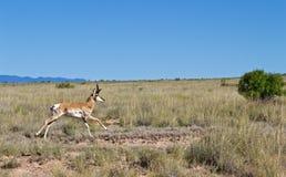 Pronghorn Buck Running door Grasrijk Gebied in de Woestijn stock foto