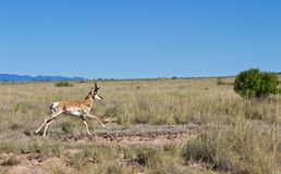 Pronghorn Buck Running durch grasartiges Feld in der Wüste stockfoto