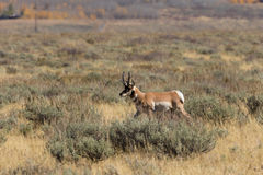 Pronghorn Buck Running sur la prairie images stock