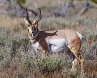 Pronghorn buck showing off his antlers. Handsome Pronghorn buck showing off his antlers for the photographer Grand Teton National Park, Wyoming, USA stock photos