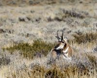 Pronghorn buck showing off his rack. Pronghorn buck is overlooking his harem of ladies who are not far away. Grand Teton National Park, Wyoming, USA stock photos