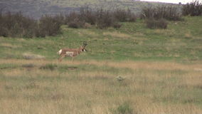 Pronghorn Buck Standing Images stock
