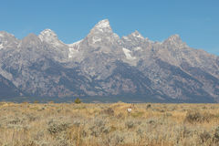 Pronghorn Buck in the Tetons Royalty Free Stock Images