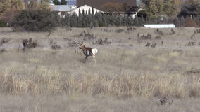 Pronghorn Buck in Urban Area stock video footage