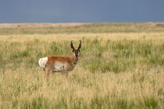Pronghorn Buck on the Utah Prairie. A nice pronghorn antelope buck on the Utah prairie Stock Photos