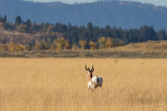 Pronghorn Buck Walking Away. A pronghorn antelope buck during the fall rut in Wyoming Stock Photography