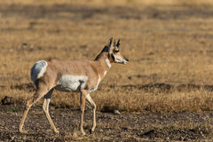 Pronghorn Buck Royalty Free Stock Images