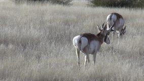Pronghorn Bucks stock video footage