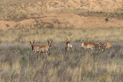 Pronghorn Bucks Royalty Free Stock Photography