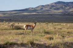 Pronghorn Bucks on the Prairie. A pair of nice pronghorn antelope bucks on the Utah prairie Stock Images