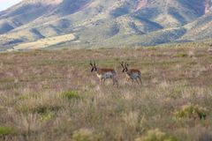 Pronghorn Bucks on the Utah Prairie. A pair of nice pronghorn antelope bucks on the Utah prairie Royalty Free Stock Photos