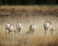 Pronghorn butts to the camera. Pronghorn seem to be telling the photographer exactly what they think of her intrusion. Grand Teton National Park, Wyoming, USA royalty free stock images