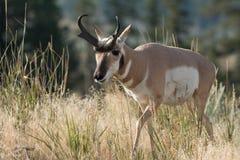 Pronghorn che cammina nell'erba Immagine Stock