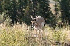 Pronghorn che cammina nell'erba Fotografie Stock Libere da Diritti