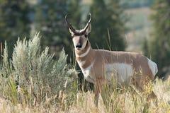 Pronghorn che cammina nell'erba Fotografia Stock Libera da Diritti