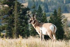 Pronghorn che cammina nell'erba Immagine Stock Libera da Diritti