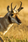 Pronghorn. Close Facial Profile of Adult Male Pronghorn aka Antelope Stock Images