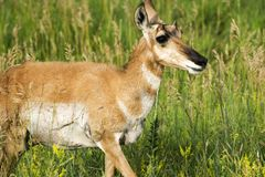 Pronghorn `American Antelope` Doe in Custer State Park. Pronghorn at Custer State Park in the Black Hills of South Dakota royalty free stock photography