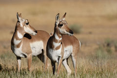 pronghorn d'antilope Photos stock
