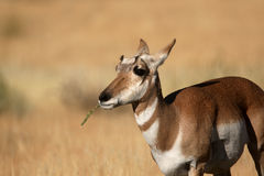 pronghorn d'antilope Photo libre de droits