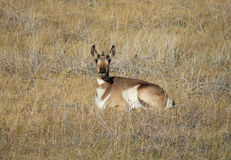 Pronghorn de descanso Fotos de Stock Royalty Free