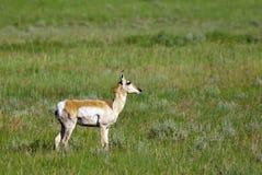 Pronghorn deer in field. Stock Photos