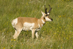 pronghorn dell'antilope Fotografia Stock Libera da Diritti