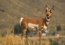 Pronghorn Doe. A pronghorn antelope doe standing broadside on the prairie Stock Photo
