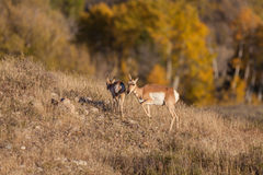 Pronghorn Doe and Fawn Royalty Free Stock Images