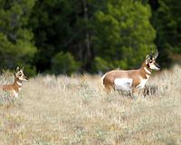 Pronghorn doe following her master. Pronghorn doe is following along closely behind her master Grand Teton National Park, Wyoming, USA stock photography