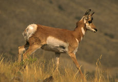 Pronghorn Doe Walking. A pronghorn antelope doe walking from left to right Stock Images