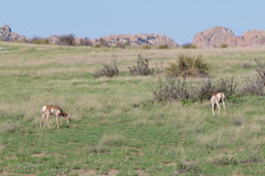 Pronghorn Does Grazing Stock Photography