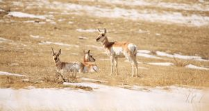 Pronghorn Does in the Snow. Three Pronghorn does in the melting snow of Logan, MT Royalty Free Stock Image