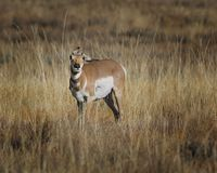 Pronghorn with ears all askew. Pronghorn appears to be having trouble with the wind blowing her ears. Grand Teton National Park, Wyoming, USA stock photos