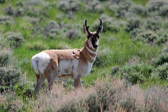 Pronghorn estando Fotos de Stock Royalty Free