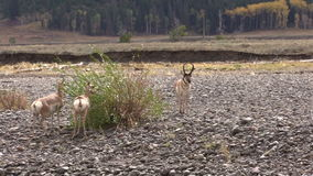 Pronghorn in Fall Rut stock video