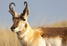 Pronghorn in Custer State Park royalty free stock images