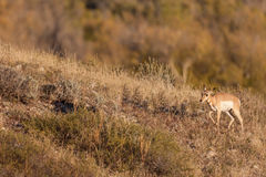 Pronghorn Fawn Royalty Free Stock Photography