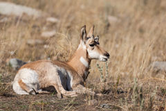 Pronghorn Fawn Bedded Arkivfoto