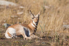 Pronghorn Fawn Royalty Free Stock Photo