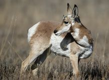 A backward glance. Pronghorn female looks over her shoulder for potential danger Grand Teton National Park, Wyoming, USA stock photos