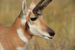 Pronghorn Royalty Free Stock Photos