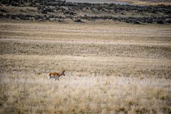 Pronghorn in the field of Antelope Island State Park, Utah stock images