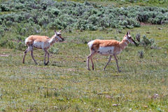 Pronghorn för två amerikan antilop near träskliten vik Royaltyfria Bilder