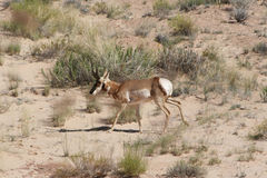 Pronghorn Goblin Valley Royalty Free Stock Photo
