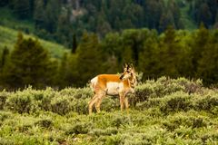 Pronghorn, grande parco nazionale di Teton Immagini Stock Libere da Diritti