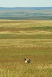 Pronghorn Grasland stockbilder